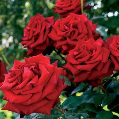 rosier grandiflora rosier buisson roses rouges floraison estivale