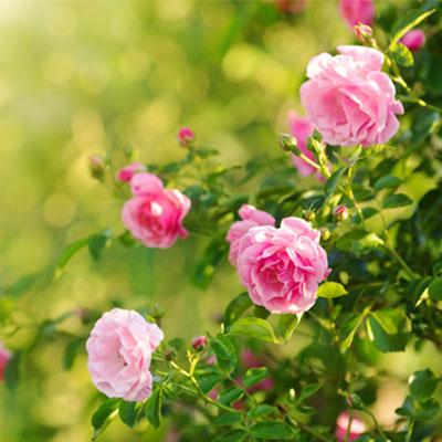 rosier anglais roses roses feuillage vert parfum été