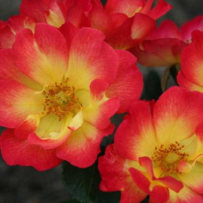 Rosier tapissant fleurs bicolores rouge jaunes roses