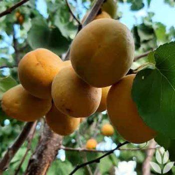 Abricots à maturité
