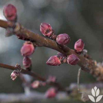 Bourgeons floraux du prunus armeniaca