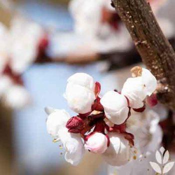 Eclosion des fleurs du prunus armeniaca