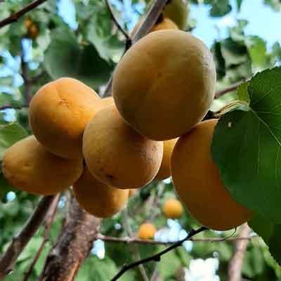 Prunus armeniaca du jardin