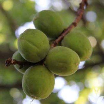 Fructification du prunus armeniaca