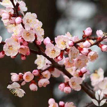 Floraison du prunus armeniaca