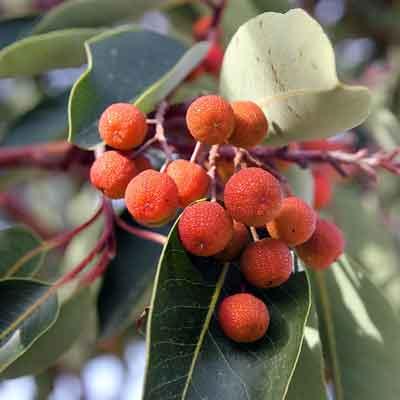 arbousier arbustus