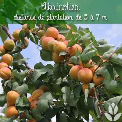 abricotier distance de plantation