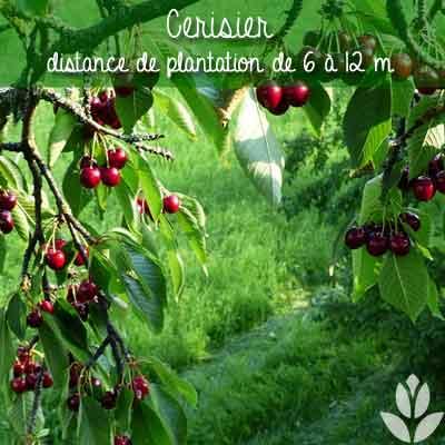 cerisier distance de plantation