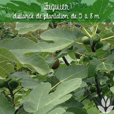 figuier distance de plantation