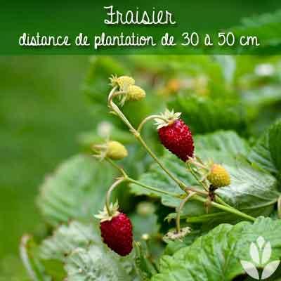 fraisier distance de plantation