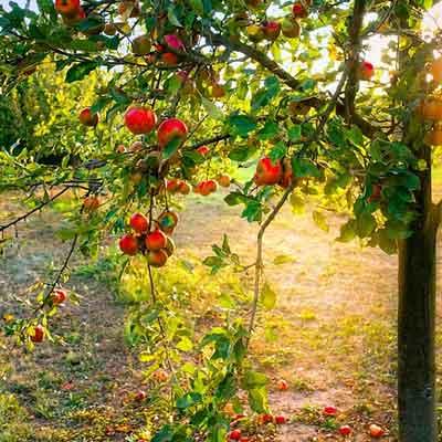 distance de plantation des fruitiers