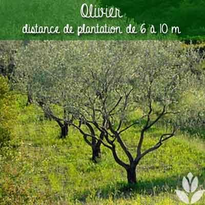 olivier distance de plantation
