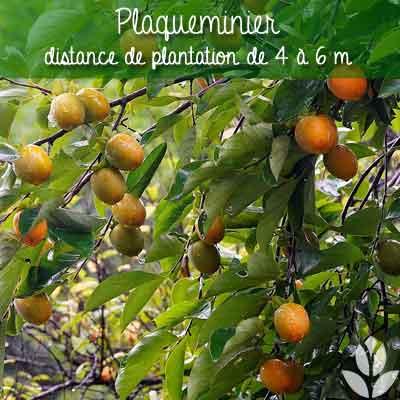plaqueminier