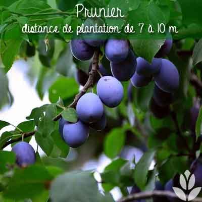 prunier distance de plantation