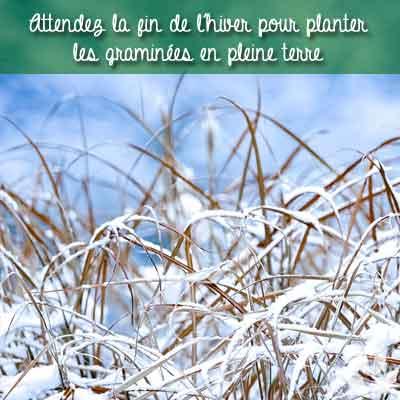 graminées en hiver sous la neige