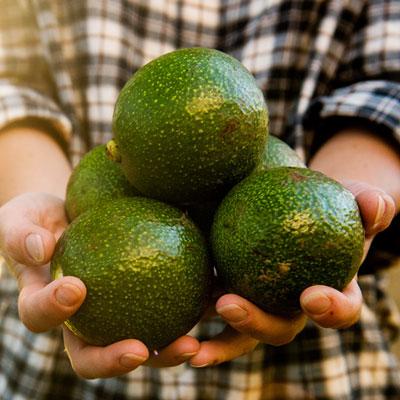 Récolte Avocats Avocatier Arbre fruitier Fruits Jardinier Chemise à carreaux