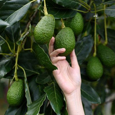 Avocatier Avocats Arbre fruitier Main Cueillette Feuillage persistant vert foncé