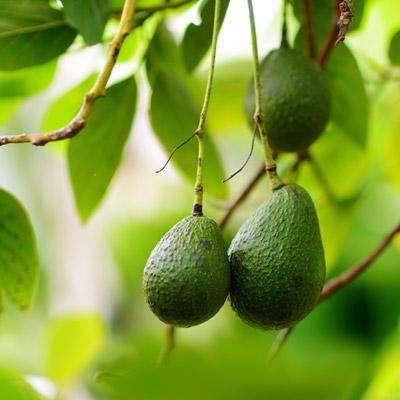 Avocatier Fruits Avocat Feuillage persistant Arbre fruitier