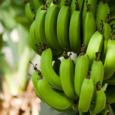 Bananier Fruitier Bananes Herbacées Arbres Musa