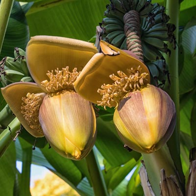 Bananier Musa Musacées Bulbe Fruits Bananes Fleurs Feuillage vert clair Herbacée