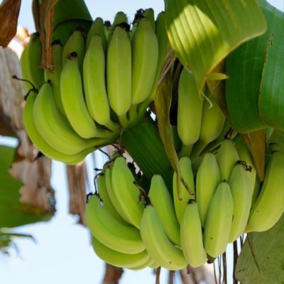 Bananier Fruitier Musa Musacées Fruits Bananes Herbacée feuillage
