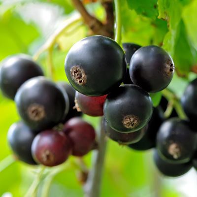 Cassissier Ribes nigrum Cassis Fruitier Arbuste Baies noires