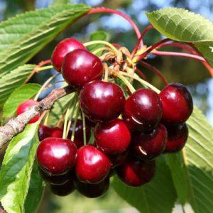 Cerisier Cerises rouges Branche Feuillage vert