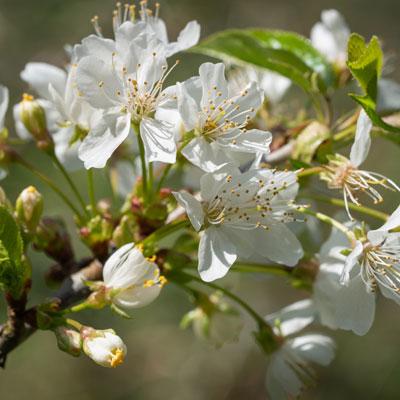 Cerisier bigarreau Fleurs blanches Printemps