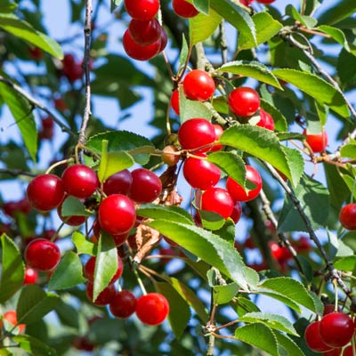 Cerisier Griotte Cerises Fruitier Arbre Feuillage vert