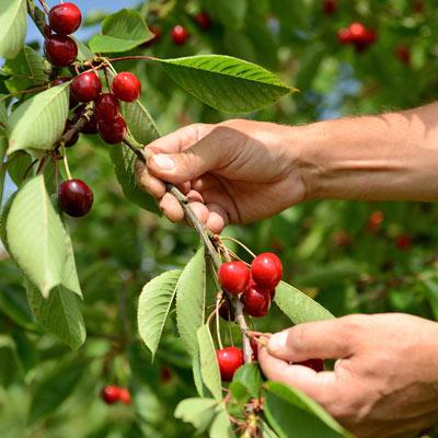 Cerisier Griotte Cerises rouges Branches Feuillage vert Verger Mains Récolte