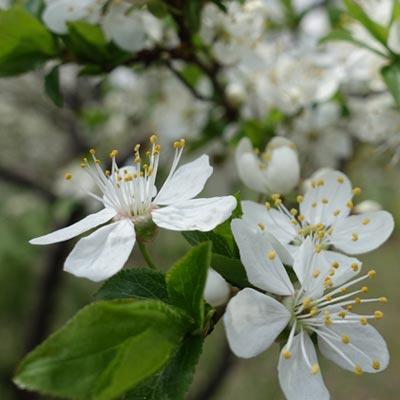 Cerisier Floraison Blanche Prunus Avium Fruitier Printemps