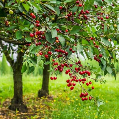 Cerisier Arbre Fruitier Verger Fruits Cerises Herbe