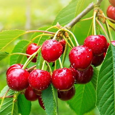 Cerisier Cerises Branche Fruitier Arbre Feuillage vert