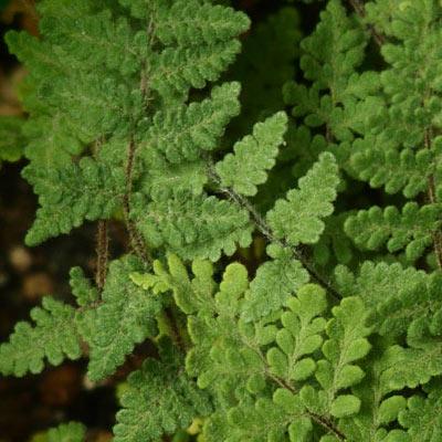Cheilanthes Fougères laineuses Feuillage persistant Vivace