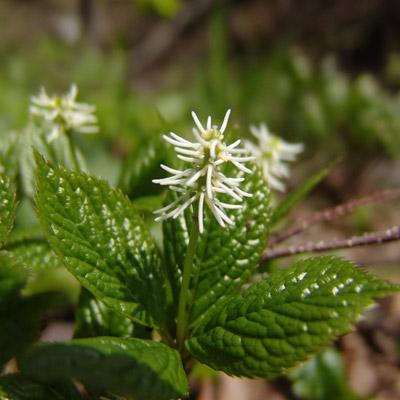 Chloranthe du Japon Chloranthus Japonicus épis fleurs blanches feuillage vert herbacée vivace
