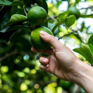 Récolte Citronnier Citrons verts Verger Main