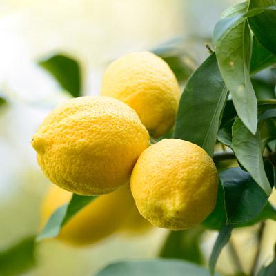Citronnier Citrus Feuillage vert Citrons jaunes