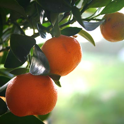 Mandarinier Mandarines Feuillage persistant Fruits Citrus