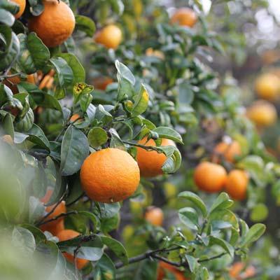 Mandarinier Fruitier Agrume Citrus Mandarines Feuillages vert foncé persistant