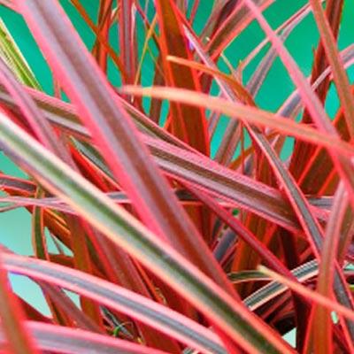 Uncinie Herbe pourpre Herbacée Graminée Feuillage coloré rouge
