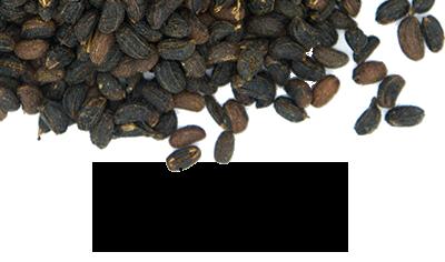 graines de maceron