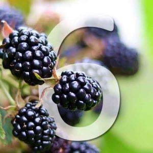 6 variétés de mûriers du jardin