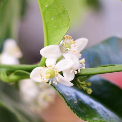 Combava Fruitier Floraison blanche Fleurs Feuillage vert