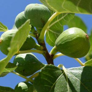 Figuier Figues vertes Feuillage vert caduc