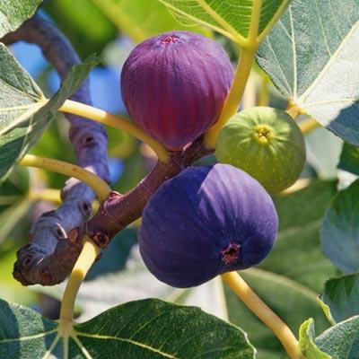 Figuier Ficus Carica Figues violettes et vertes Feuilllage vert caduc Branches Tiges