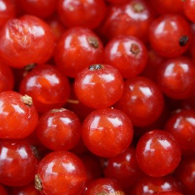 Groseilles rouges récolte