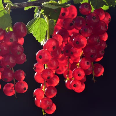 Groseillier Fruits rouges Baies Feuillage