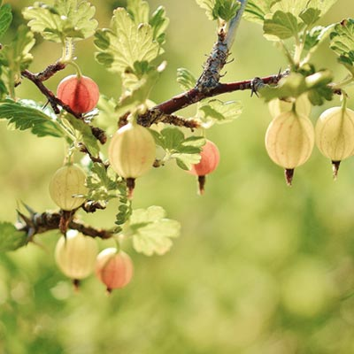 Groseillier à maquereau Fruitier Arbuste Fruits Groseilles Branches Feuillage