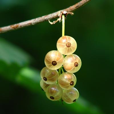 Groseillier blanc à grappes Branche Groseilles blanches translucides
