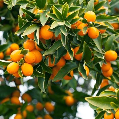 Kumquat Kumquats Fruitier Citrus Japonica Feuillage persistant vert Fortunella